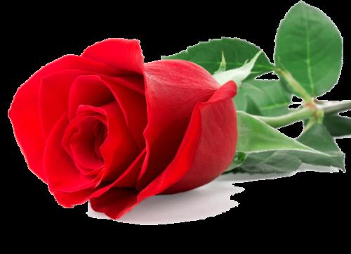 1 Rosa suelta