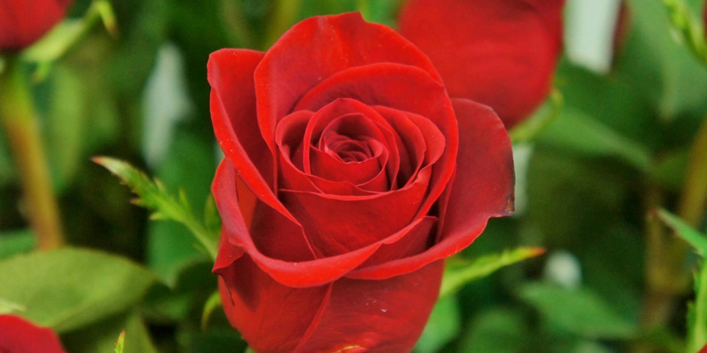 TIPS: San Valentín, Guía para comprar rosas rojas